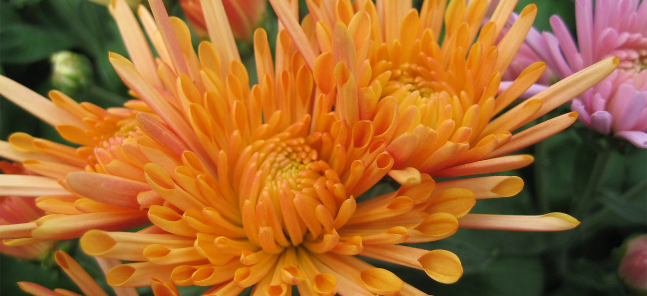 Production de Chrysanthème multifleurs par Jarry