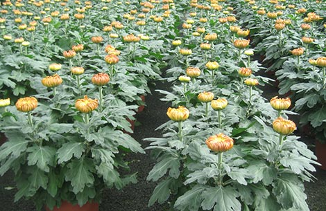 Production de Chrysanthème unifleurs par Jarry