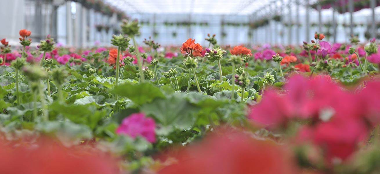 jarry producteur horticole vos plantes pour le printemps et l 39 automne. Black Bedroom Furniture Sets. Home Design Ideas
