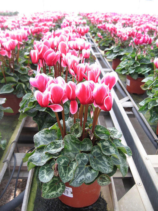 Production de Mini cyclamens par Jarry